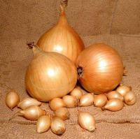 Лук-севок «Голиатстурон»