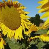Суперсол семена подсолнечника Заатен-Унион