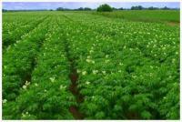Картофель семенной высокорепродуктивный