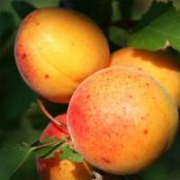Саженцы абрикоса Шелудько