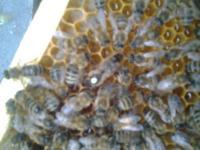 Пчеломатки Карника ПЕШЕЦ и Украинская степная