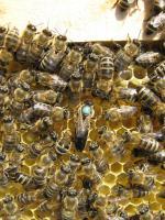 Пчеломатки с племенных пасек карпатской породы