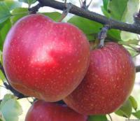 Яблоня Виста Белла Граф