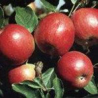 Саженцы яблони Айдаред